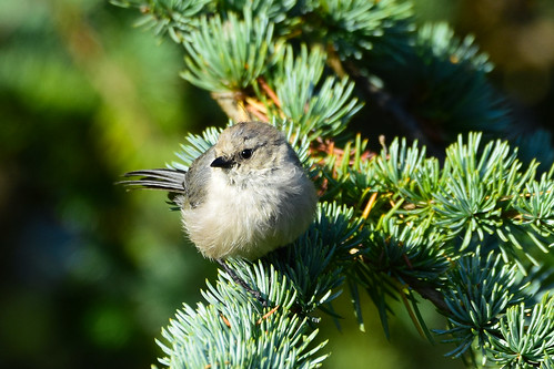 Bushtit (Psaltriparus minimus) male | by R-Gasman