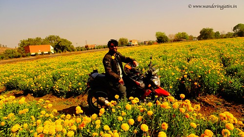 Getting clicked in Marigold flowers' fields | by wanderingjatin