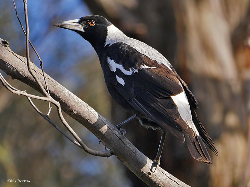 Australian Magpie - Photo (c) Nik Borrow, some rights reserved (CC BY-NC)