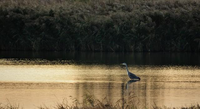 Heron in the morning light.