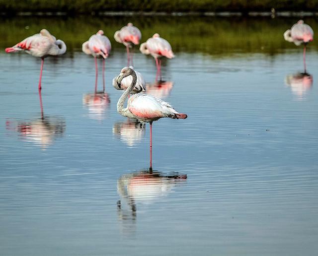 Flamenco - flamingo
