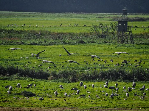 feeding cranes | by paddy_bb