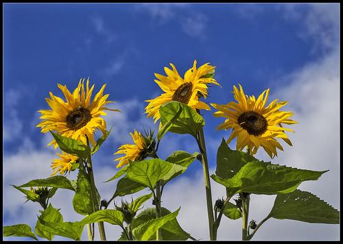 Sunflowers _Stu W (1)