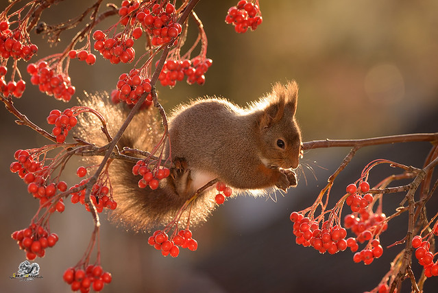 squirrel hanging on branches with berries