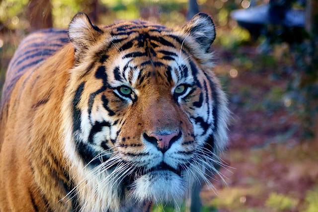 TIger with mesmerising eyes....