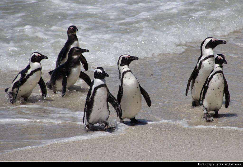 Penguins, Boulders Beach, Simon's Town, South Africa