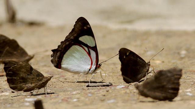 Edocla Redwing - Pyrrhogyra edocla