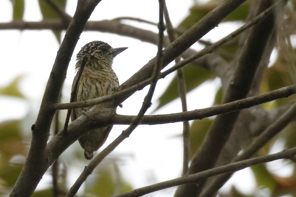 Bar-breasted Piculet_17-09-21_Picumnus aurifrons