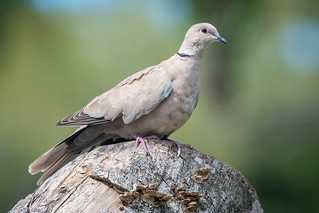 Eurasian Collared-Dove | by Becky Matsubara