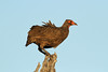 Pternistis swainsonii (Swainson's Spurfowl) - South Africa by Nick Dean1