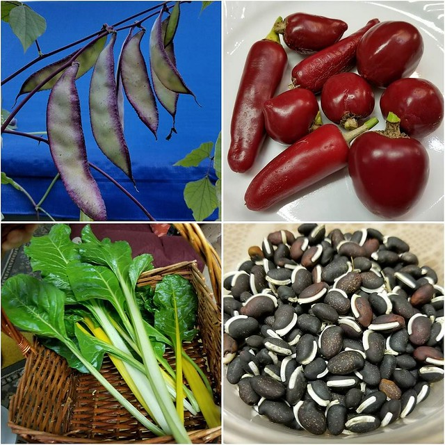 Today's harvest: Harabilya/Bataw/Hyacinth Bean, Coolepeño Peppers and Swiss Chard for a dish (Pork Sinigang) that my Mom is cooking for dinner. I also harvest seeds from the Harabilya/Bataw/Hyacinth Bean for next year. #harvest #JoelsHarvest #harabilya #b