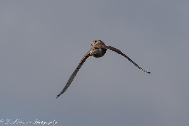 Kestrel -  a watchful eye !!