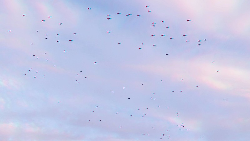Crows in flight, anaglyph