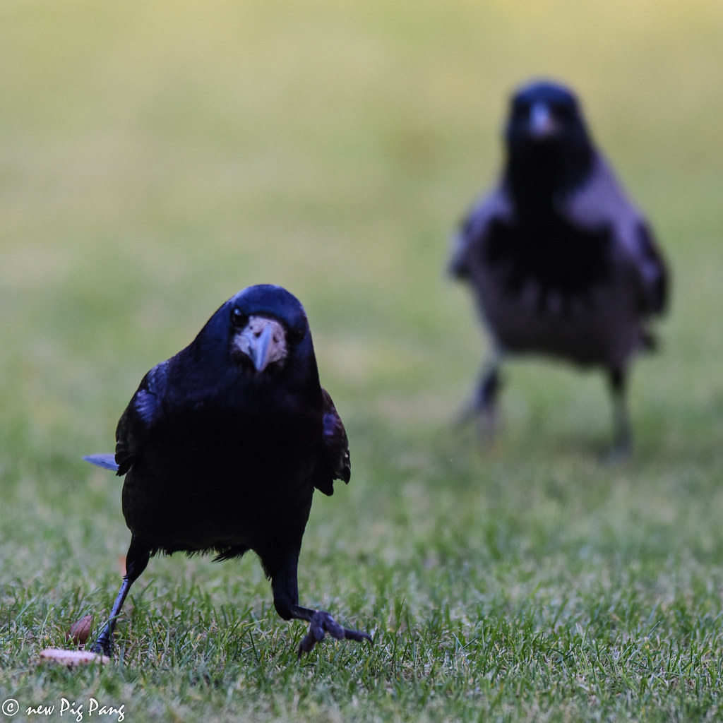 Pinguine Crow Funny Crows Pig Pang Flickr