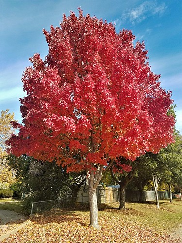 red leaves tree fall sacramento seasons brilliant liquidamber plant change vivid nature photography peak autumn facts science carotenoids anthocyanins ruby scarlett vermillion crimson showoff pure radiant intense moonjazz favorite blue contrast looking
