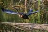 Anhinga (Anhinga anhinga) taking off from a log at Babcock Wildlife Management Area, Punta Gorda, Florida by diana_robinson
