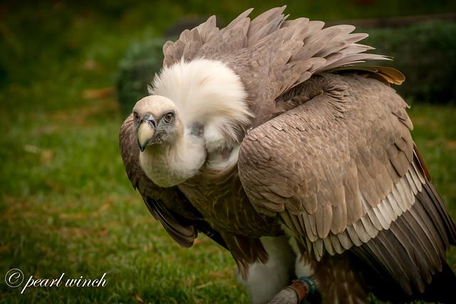Vulture - Yates