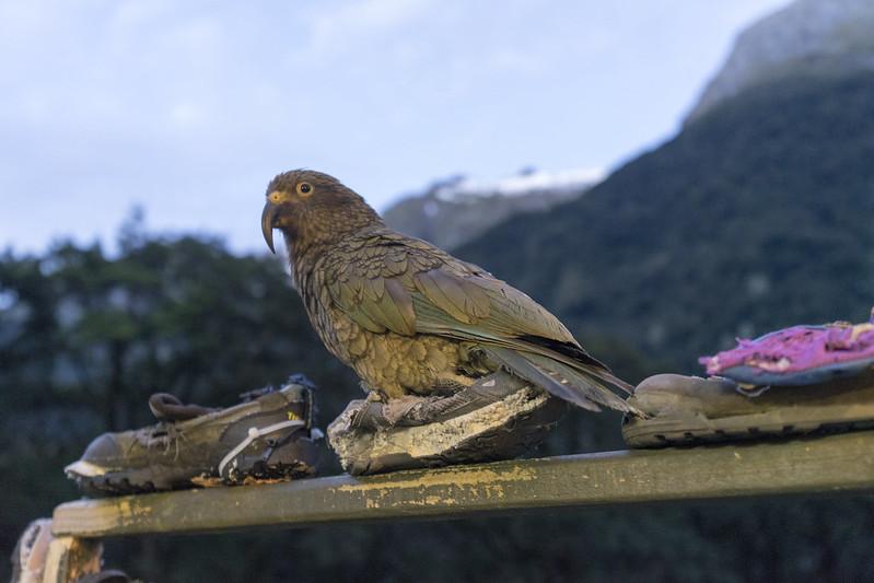 Kea, a mischievous parrot