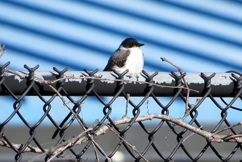 bird tyrannussavana