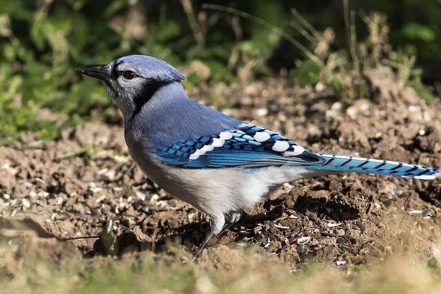 Blue Jay (explored 11/10/2017)