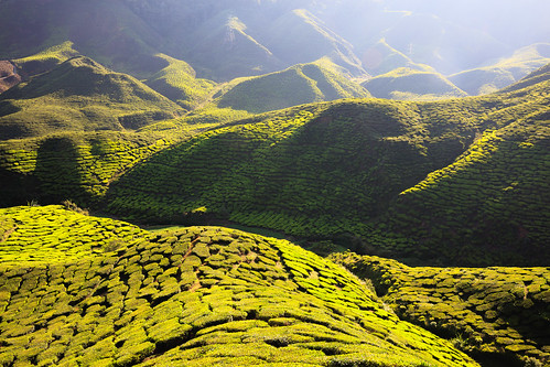 agricultural agriculture asia background beautiful cameron cultivation environment farm farmland field fresh freshness green grow highland hill land landscape lanka leaf malaysia morning mountain nature nobody plant plantation rural scene sri summer sunlight tea terrace texture tourism travel tree tropical valley view wallpaper tanahrata pahang my