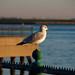 Seagull at Sunrise - Castle Island, South Boston, MA