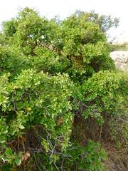 Mesto de Quercus rotundifolia x Q. coccifera