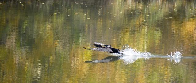 Autumn Cormorant Landing