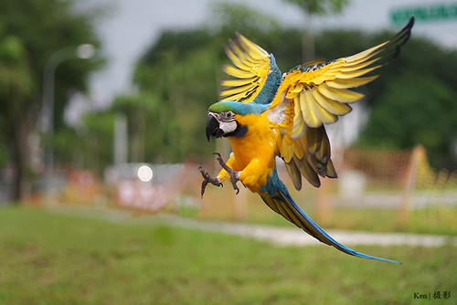 Parrot in flight #2 | by Ken Goh thanks for 3 Million views