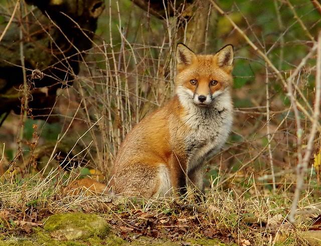 Fox in a field sheffield 3 dec 2017 (5)