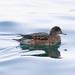 ヒドリガモ(Eurasian Wigeon)