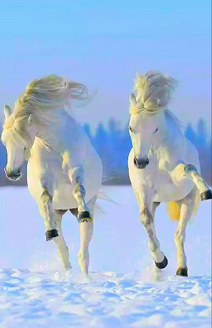 White snow, white horses, blue🔵🔵🔵 sky⛅⛅⛅⛅