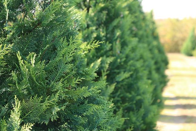 Wadsworth Christmas Tree Farm
