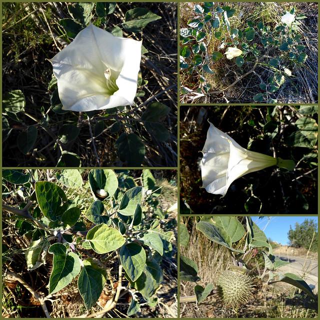 Datura innoxia- Downy Thorn apple- Grossblütiger Stechapfel