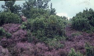 Wijster. Polypodium in Juniper calluna scrub. 31/08/1965