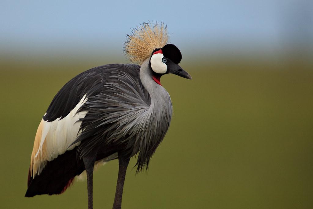 Image: Grey Crowned Crane