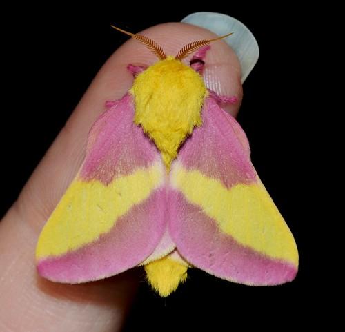 # 7715 – Dryocampa rubicunda – Rosy Maple Moth