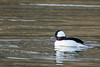 Bufflehead (Bucephala albeola)  Male by Brown Acres Mark