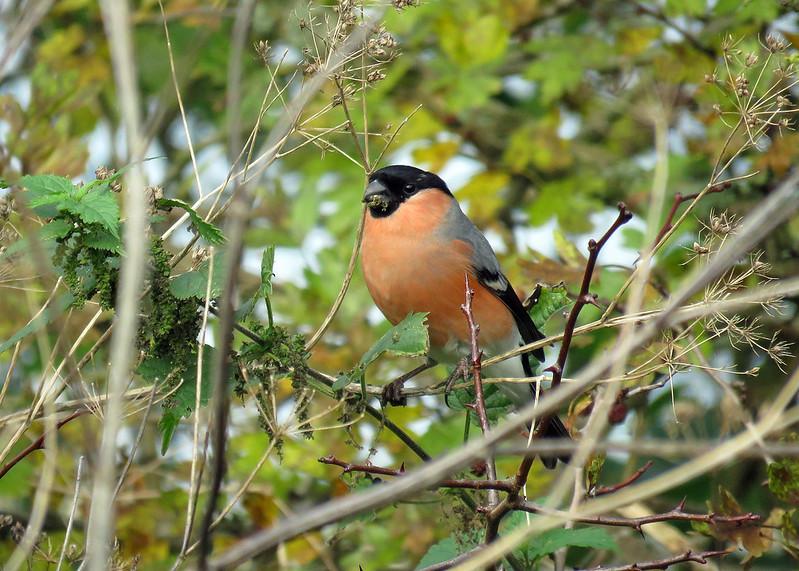 Bullfinch - Pyrrhula pyrrhula