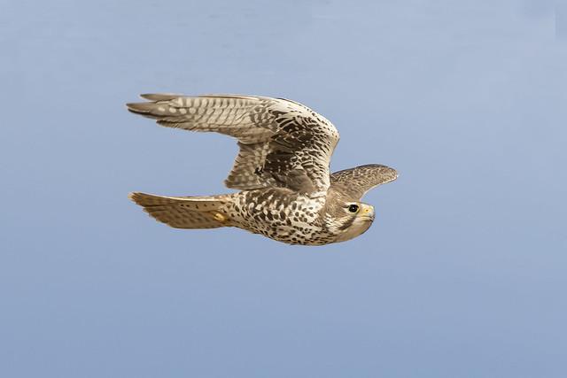 _31A4781 Adult Prairie Falcon