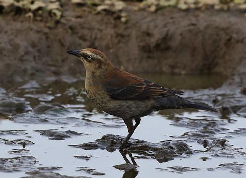 rustyblackbird euphaguscarolinus almansorpark