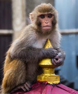 in Kathmandu_14 monkey | by Valentin Groza
