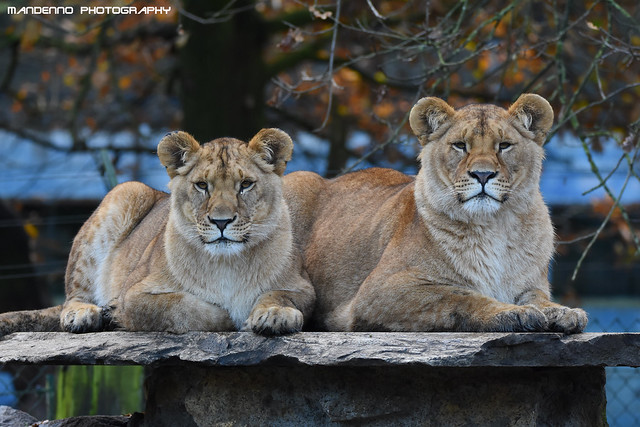 African lion sisters - Olmense Zoo