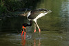 Ephippiorhynchus senegalensis ♂ (Saddle-billed Stork) - South Africa by Nick Dean1