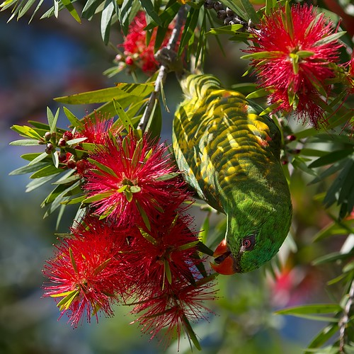 scaly breasted lorikeet on bottlebrush | by piggsyface