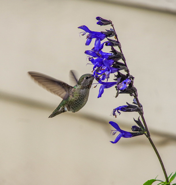 Female Annas Hummingbird. (Day 314 / 365)