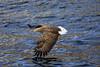 白尾海鵰 a White-tailed eagle by *dans