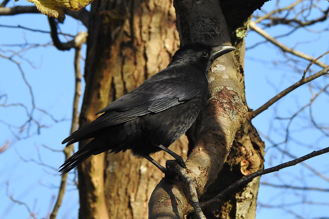 crow or raven