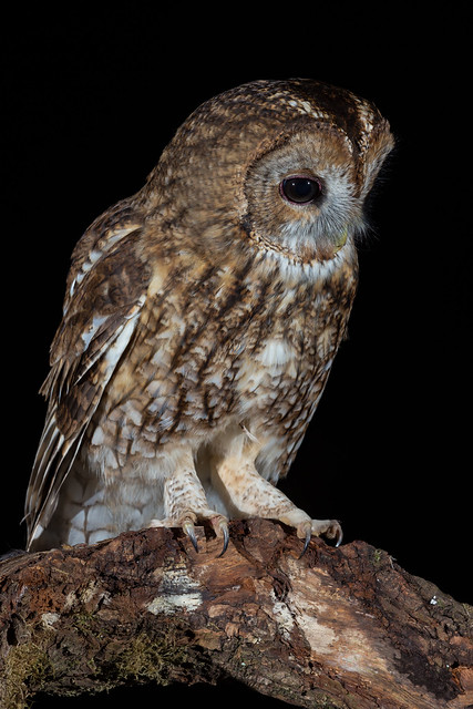 Tawny Owl (Strix aluco) (f) - Wild