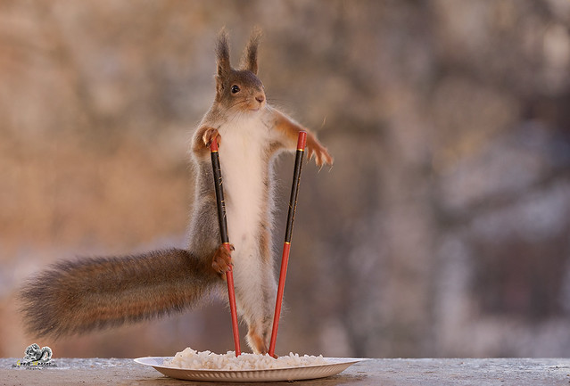 squirrel climbing in Chopsticks on plate with rice